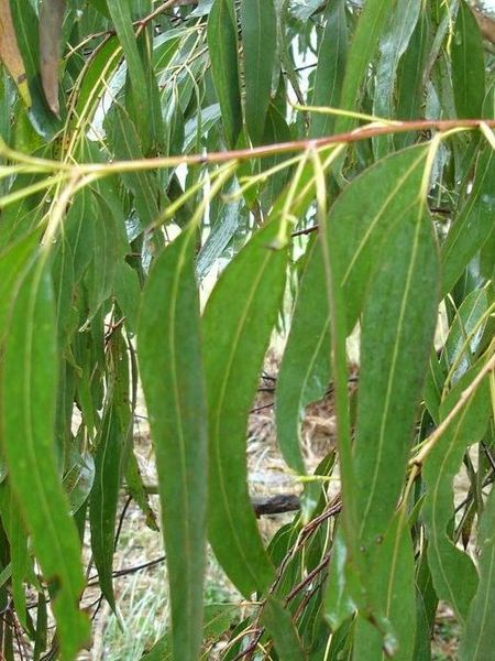 Eucalyptus 100% Pure Essential Oil 10ml