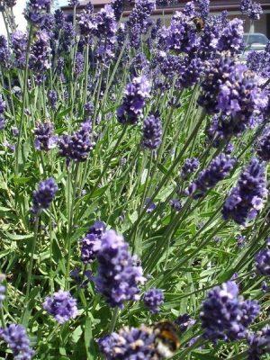 Lavender 100% Pure Essential Oil