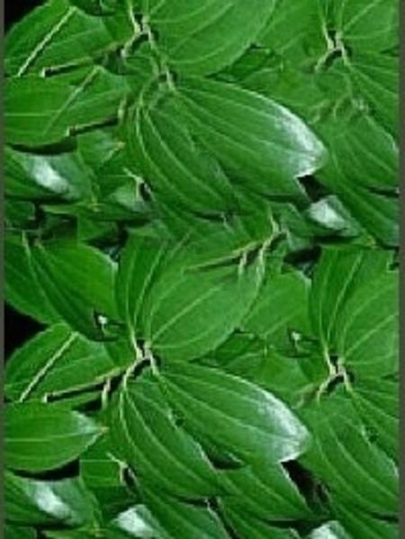 Cinnamon Leaf 100% Pure Essential Oil 10ml