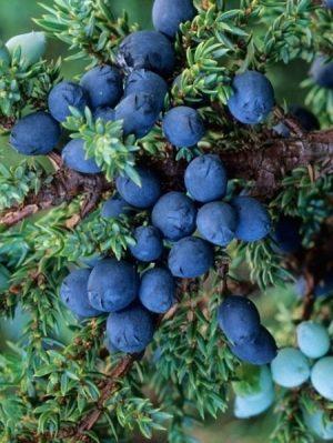 Juniper Berry 100% Pure Essential Oil 10ml