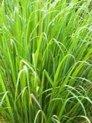 Lemongrass 100% Pure Essential Oil 10ml