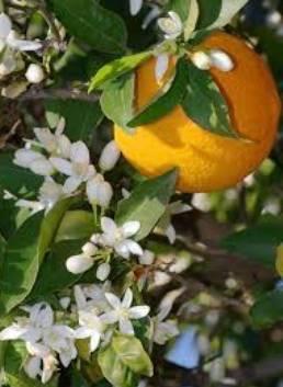 Fleurs d'Oranger 100% Pure Essential Oil